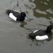 két kacsa fürdik