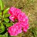 rózsa napfényben