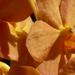 Napsugár orchideák