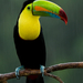 Keel-billed-Toucan12