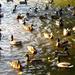 Kacsák a városligeti tóban