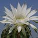 Echinopsis eyriessi 2