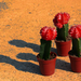 Piros kaktusz
