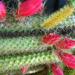 kaktusz virágai