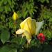 Rózsabimbók