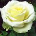 Rózsáim 8141