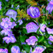 Harangvirágok - Dublin