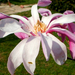 Keskeny szirmú tulipánfa virága