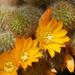 Narancssárga virágú kaktusz