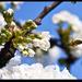 Pollen hadművelet: a berepülés