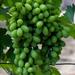 Zöld csemegeszőlő