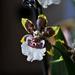 Gyűjtemény - Orchidea..