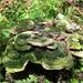 különleges növények, zöld taplógomba