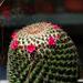 kaktuszvirág, nagy növény kis díszei