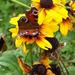 őszi képek, őszülő sárga kúpvirágék